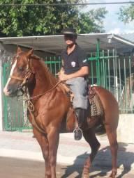 Cavalo quarto de milha garanhão. Valor a combinar
