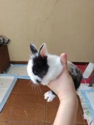 Mini coelho holandês