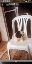 Lindo filhote macho  de shih tzu com 2 meses