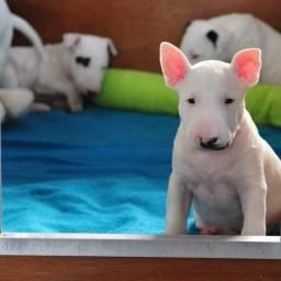 Bull terrier machos e fêmeas disponíveis a pronta entrega