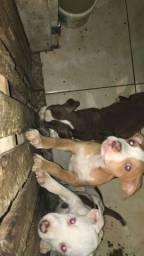 Título do anúncio: Filhotes de pitbull puro