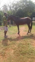 Cavalo argentino com manga larga machador