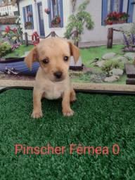 Pinscher eu estou disponível