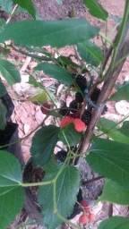 Título do anúncio: Mudas frutíferas