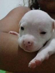 Filhotes Pit Bull red nose albino