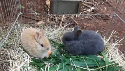 Filhotes de mini coelhos netherland Dwarf