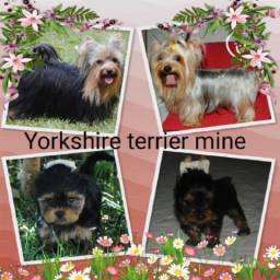 Yorkshire terrier mine, micro, com pedigree (CBKC)
