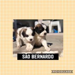 São Bernardo com pedigree e microchip em até 18x