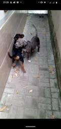Pitbull bluenose fêmea 9 meses
