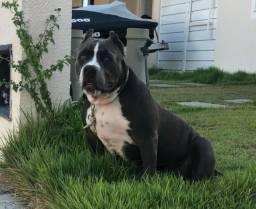 Cachorro American Bully 5 meses