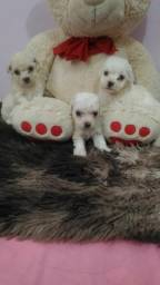 Poodle Micro Joinville