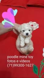 Poodle mine toy macho 5x S/juros entregamos a domicílio porte pequenos sem enganos