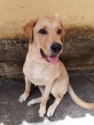 Labrador filhote macho 5 meses
