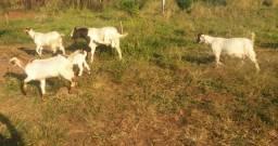 Vendo cabras .dispenso curiosos