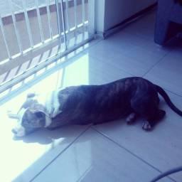 Venda Cruzamento Dog Pitbull