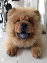 Chow-Chow - Disponivel