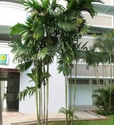 Título do anúncio: Areca trianda e palmeira fênix