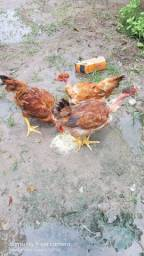 Ainda tenho galinha caipira e brancas