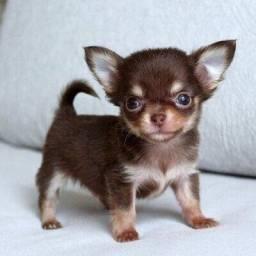 Chihuahua cores exóticas e padrão único da raça, adquira conosco *