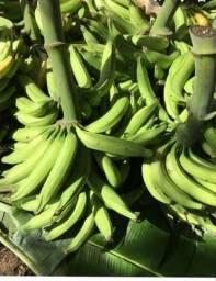Mudas de banana pacovan