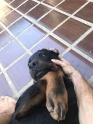 Rottweiler macho 7 meses raça pura