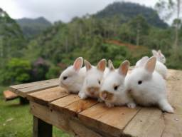 Filhotes de mini coelho Lion
