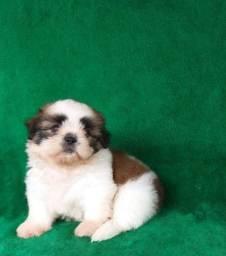 Shih-tzu um filhote mais que perfeito pedigree cbkc