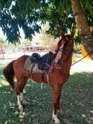 Cavalo mangalarga mestiço