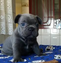 Bulldog Frances Exotico Blue (ler todo anuncio)