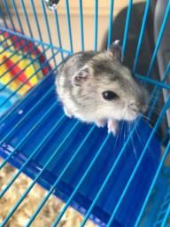 Hamster anão russo R$ 25,00