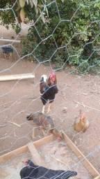 Casal de perú 2 galos gigantes e um frango