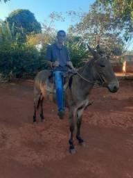 Vendo mula nova com apenas 3 anos e meio ?