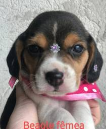 Beagle fêmea e macho ha pronta entrega ja vacinados
