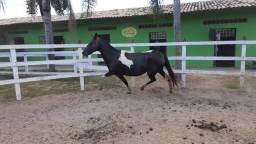 Excepcional égua mangalarga pampa de preto prenha
