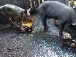 Porcos machos caipira