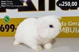 Título do anúncio: Coelho Mini Lop Uruguaio
