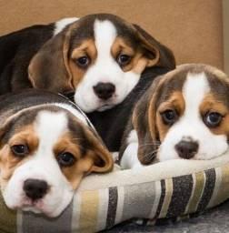 Título do anúncio: Belos filhotes de Beagle