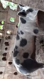 Leitões e porca Grande