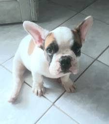 Bulldog Francês ( macho ) disponível