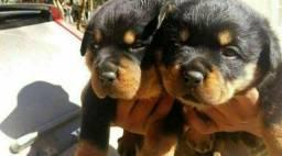 Canil Euro filhotes de Rottweiler pais porte gigante