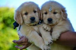 Inteligentes!!! Golden Retriever com Garantias.