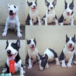 Bull terrier com pedigree cbkc