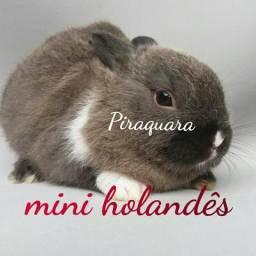 Mini coelhos