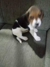 Beagle femea. tricolor