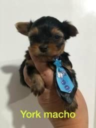 Yorkshire terrier belissimos seu novo amor