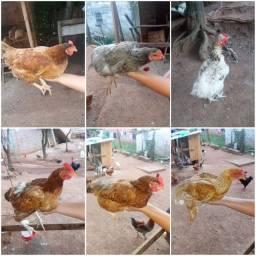 Vendo galinhas ponhando