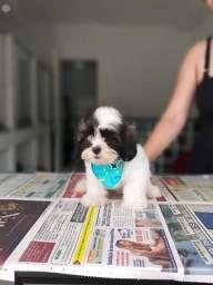 Lhasa Apso com pedigree e suporte veterinário gratuito! *