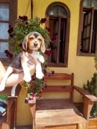 Vendo filhotes de Beagle com garantia de saúde