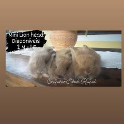 Mini Lion head - coelhos anões