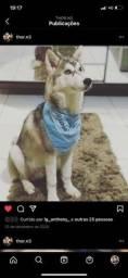 Husky Siberiano Macho!